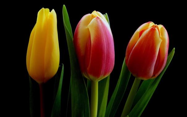 Фото обои природа, фон, тюльпаны