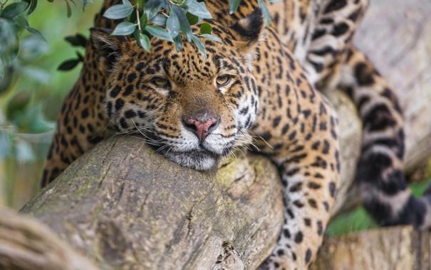 Фото обои отдых, ягуар, бревно