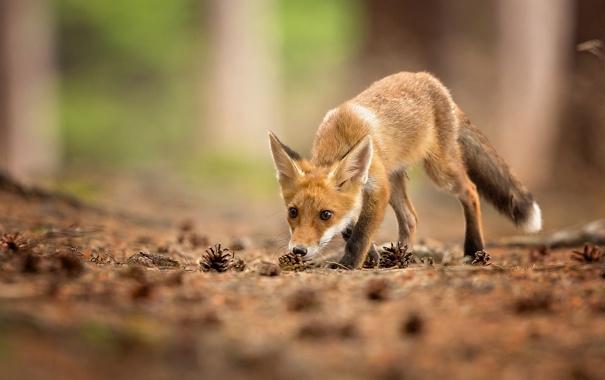 Фото обои взгляд, животное, лиса, шишки, лисица