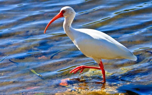 Фото обои ибис, птица, вода, клюв