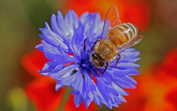 Фото обои цветок, природа, пчела, растение, насекомое