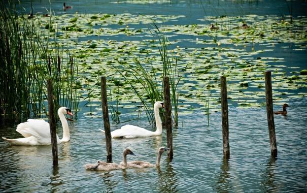 Фото обои пруд, лилии, утки, белые, лебеди