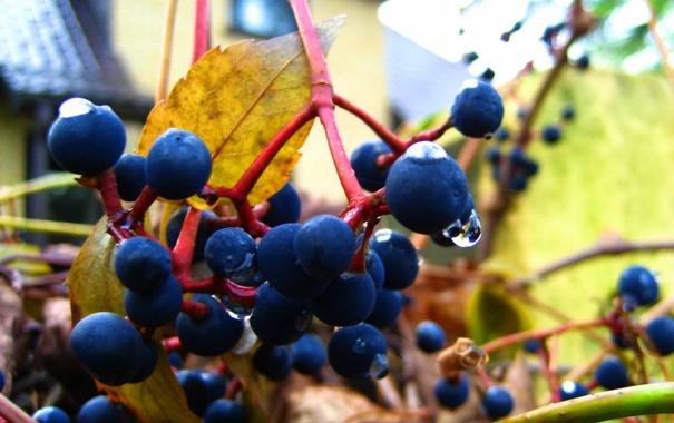 Фото обои осень, капли, дикий виноград