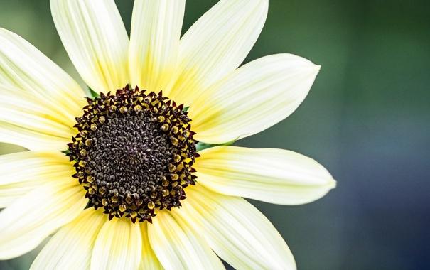 Фото обои цветок, макро, лепестки, фоен