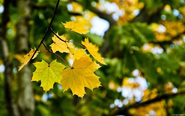 Фото обои макро, лист, Клён
