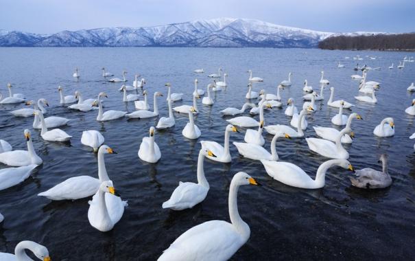 Фото обои вода, горы, птицы, стая, горизонт, белых, лебедей