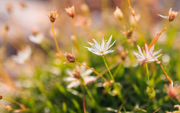 Фото обои трава, цветы, блики, размытость, белые