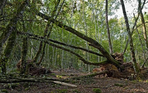 Фото обои зелень, лес, деревья, корни, стволы