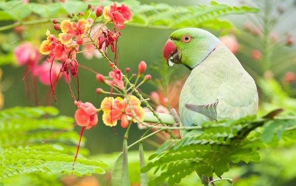 Фото обои листья, цветы, Индийский кольчатый попугай