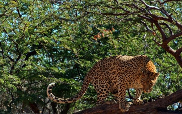 Фото обои взгляд, дерево, листва, хищник, леопард