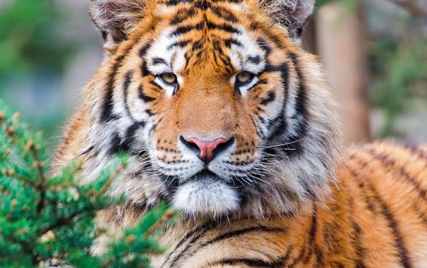 Фото обои взгляд, тигр, хищник