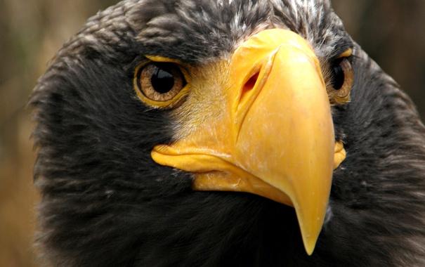 Фото обои взгляд, птица, орел