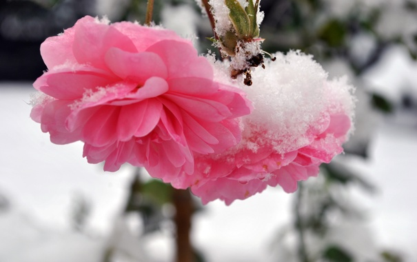 Фото обои холод, зима, снег, цветы, розы, лепестки, стебель