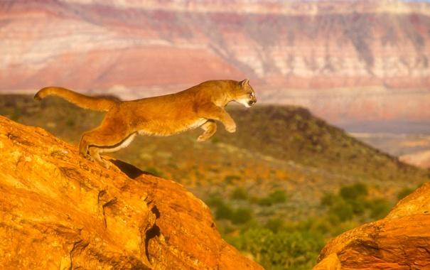 Фото обои кошка, прыжок, пума, горный лев, кугуар