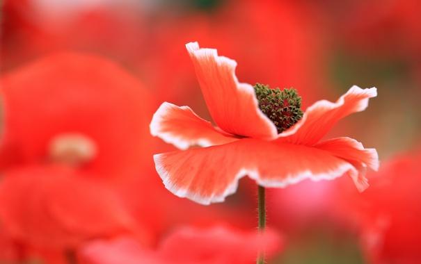 Фото обои макро, цветы, маки