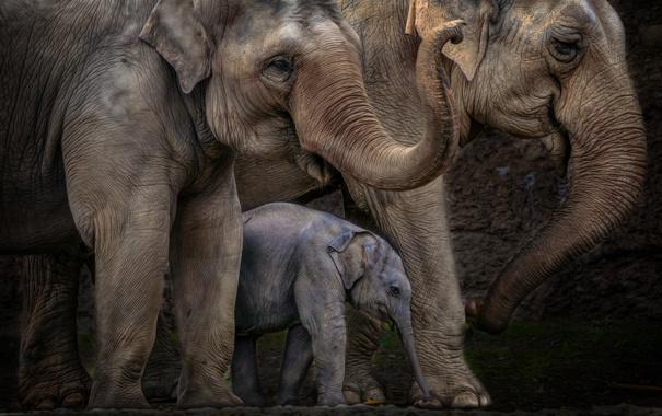 Фото обои семья, слоны, большие, слоненок, хоботы