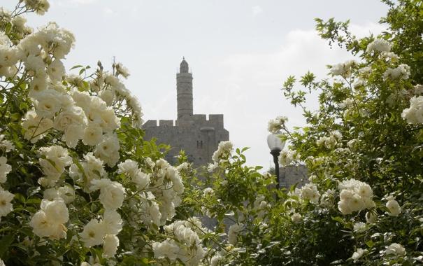 Фото обои цветы, башня, розы, красота, фонарь, белые, иерусалим