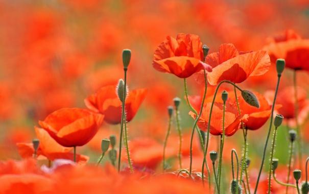 Фото обои поле, цветы, природа, маки, весна, лепестки, field
