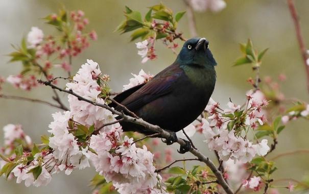 Фото обои вишня, птица, ветка, цветение, гракл