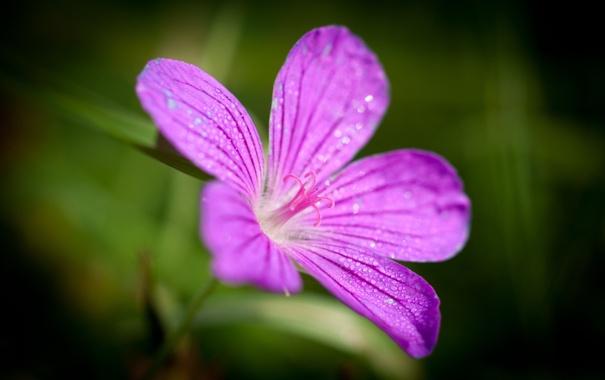 Фото обои цветок, макро, роса, сирневый