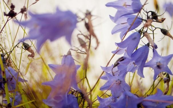 Фото обои цветы, сиреневый, колокольчики, полевые