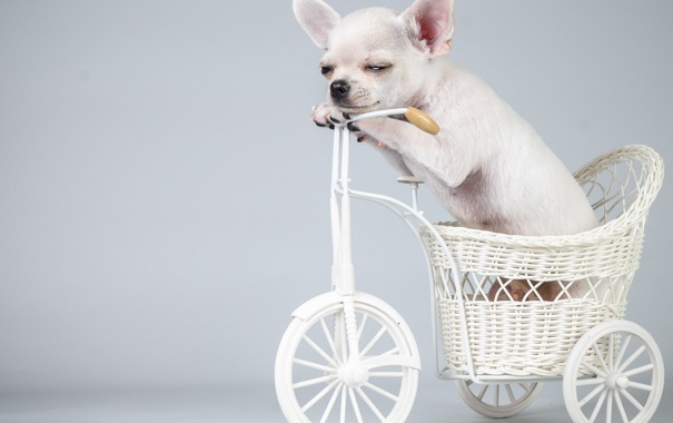 Фото обои велосипед, собака, щенок