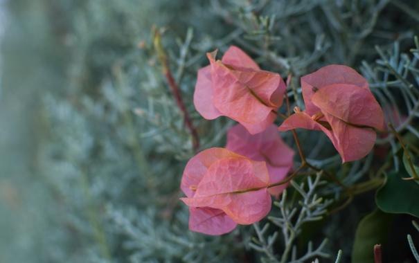 Фото обои розовый, стена, цветок, лето