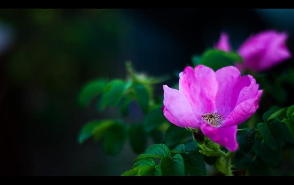 Обои картинки фото чайная, роза, шиповник, цвет