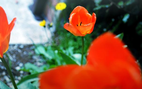 Фото обои цветок, красный, тюльпан, лепестки