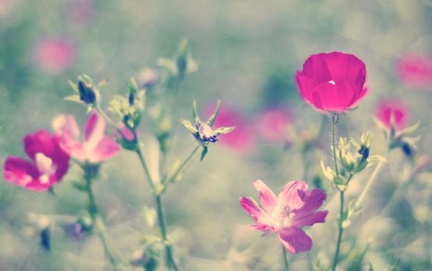 Фото обои лето, цветы, природа, розовый, боке, петуния
