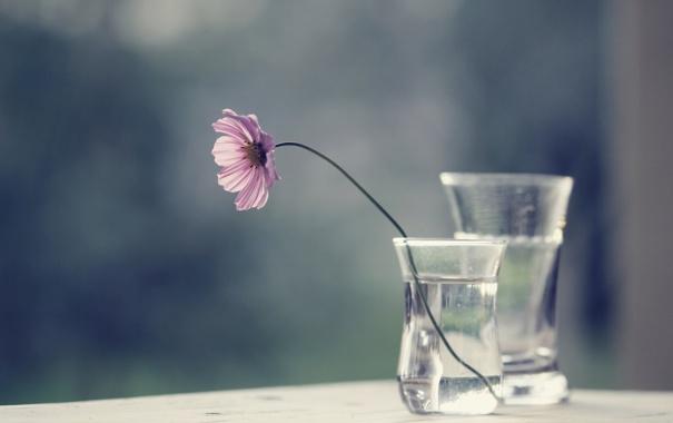 Фото обои цветок, стекло, вода, космея, вазочки