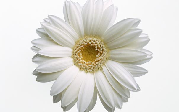 Фото обои цветок, ромашка, лепестки, белый, макро