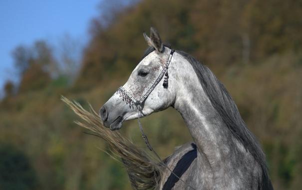 Фото обои морда, серый, конь, лошадь, хвост, профиль, (с) OliverSeitz