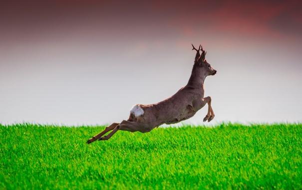 Фото обои deer, wildlife, Learning to Fly