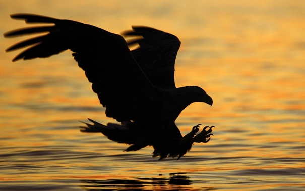 Фото обои вода, природа, фото, фон, обои, орёл, хищьник