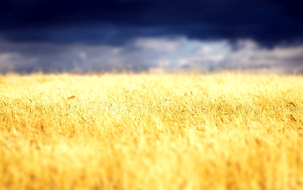 Фото обои пшеница, поле, небо, облака, пейзаж, природа, растение