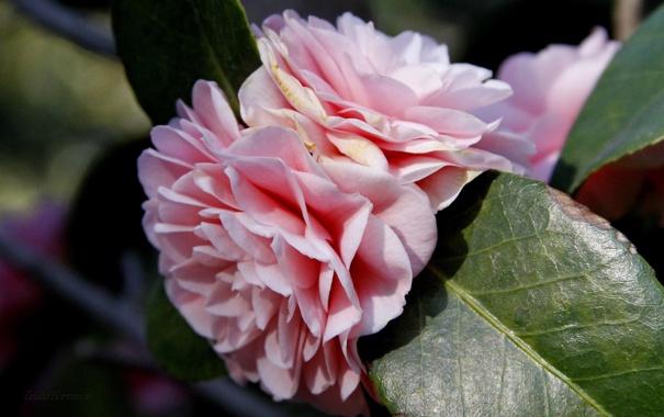 Фото обои листья, макро, цветы, природа, лепестки, нежно розовые
