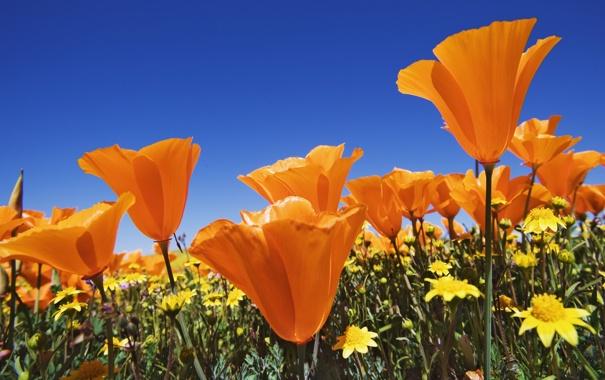 Фото обои поле, лето, небо, цветы, синева, яркие, маки