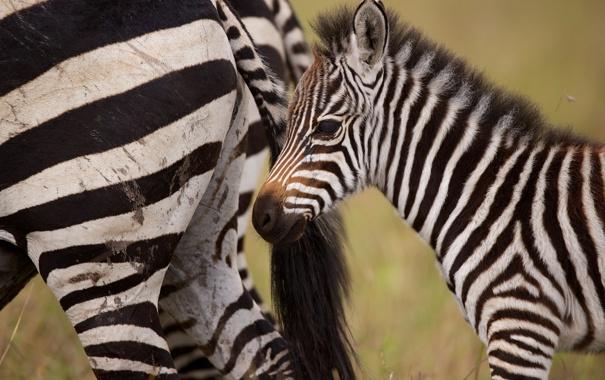 Фото обои детёныш, зебры, жеребёнок