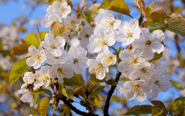 Фото обои небо, дерево, весна, Яблоня, листки, цветение