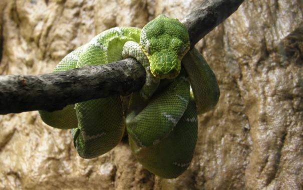 Фото обои змея, ветка, отдыхает, зелёная