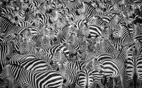 Картинка природа, фон, зебры