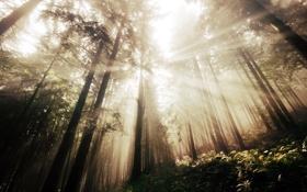 Обои лес, лучи, деревья, склон, папоротник