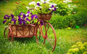 Обои цветы, велосипед, flowers, петуния, Biking, Petunia