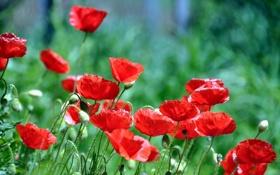 Обои красные, маки, трава, лепестки, цветы
