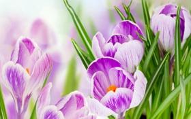 Обои листья, макро, размытие, лепестки, фиолетовые, крокусы, крупным планом