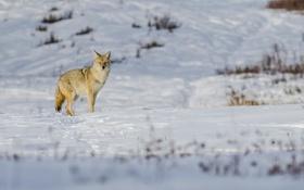 Обои зима, снег, койот