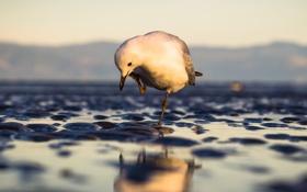 Картинка чайка, вода, мокро, макро