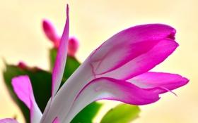 Обои цветок, природа, растение, лепестки, кактус, экзотика