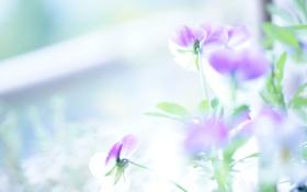 Обои цветы, нежные, светло, виола